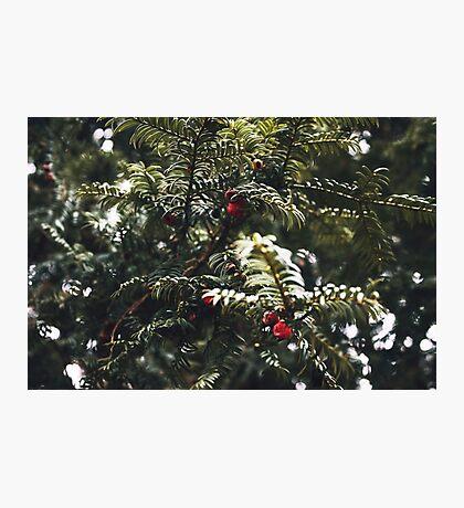 Yew Berries Photographic Print