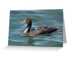 Great Cormorant at Narooma. Greeting Card