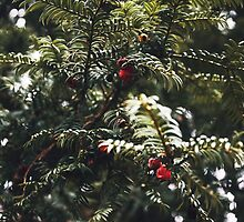 Yew Berries by Voxical