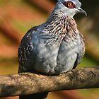 Speckled Pigeon / Guinea Duif by Jacqueline van Zetten