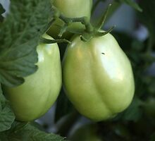 Jeannie's Tomatoes...  by Qnita