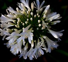 Agapanthus by Elaine Teague