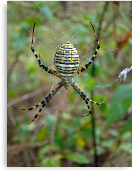 Banded Argiope Orb Weaver Spider - Argiope trifasciata by MotherNature