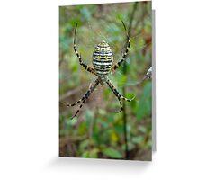Banded Argiope Orb Weaver Spider - Argiope trifasciata Greeting Card