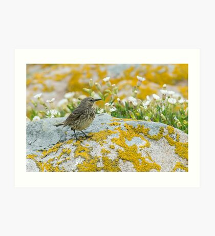 Rock pippet, Saltee Island, County Wexford, Ireland Art Print