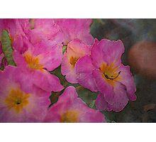 Pink Primroses Photographic Print