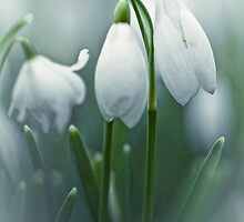 Silky Snowdrops by Bob Daalder