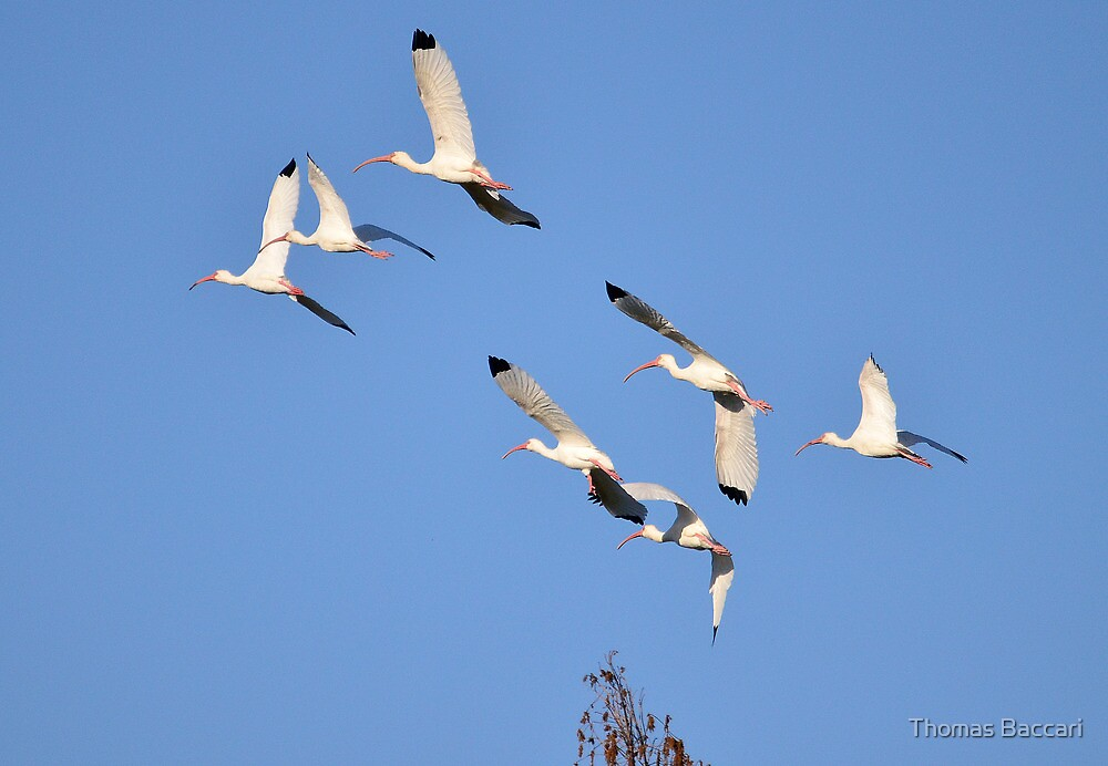 Flock of White Ibis by TJ Baccari Photography