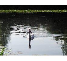 swans ripple Photographic Print
