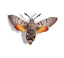 Moth Hummingbird Hawk by Katy Hood