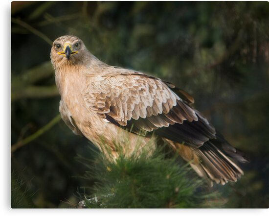 Tawny Eagle by Patricia Jacobs DPAGB LRPS BPE4