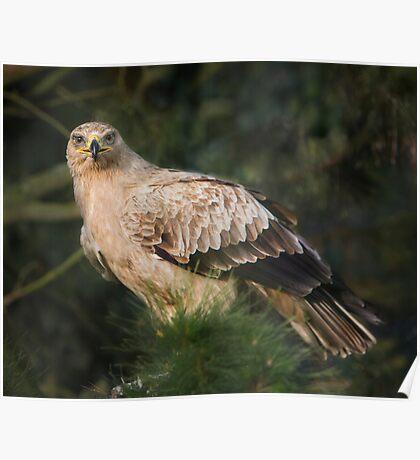 Tawny Eagle Poster