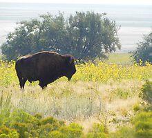 Buffalo Sunflowers by BrianAShaw