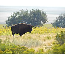 Buffalo Sunflowers Photographic Print