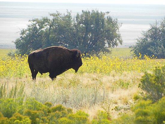 Buffalo Sunflowers by BrianAShaw