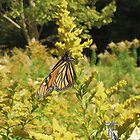 Monarch Butterfly in the Fall by jkgiarratano