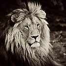 Male Lion by RatManDude