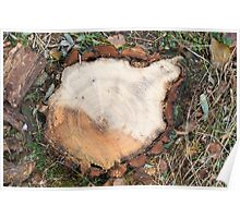 Top view of a fresh cut tree stump on the forest Poster