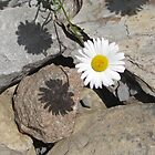 Daisy on Rock  by TCbyT