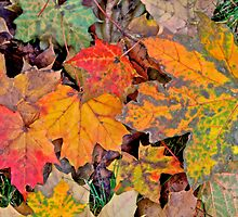 Maple Leaves in Technicolor by John Butler