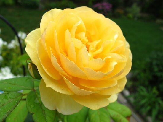 Rose lover by MarianBendeth