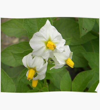 Yellow & White Flower Poster