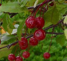 Crabapples by TCbyT