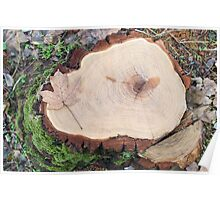 Top view of a fresh tree stump from felled maple in a forest  Poster