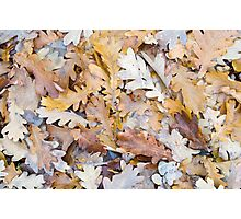 Top view of a layer of fallen oak leaves Photographic Print