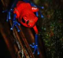 Strawberry Poison Dart Frog (Oophaga pumilio) - Costa Rica by Jason Weigner