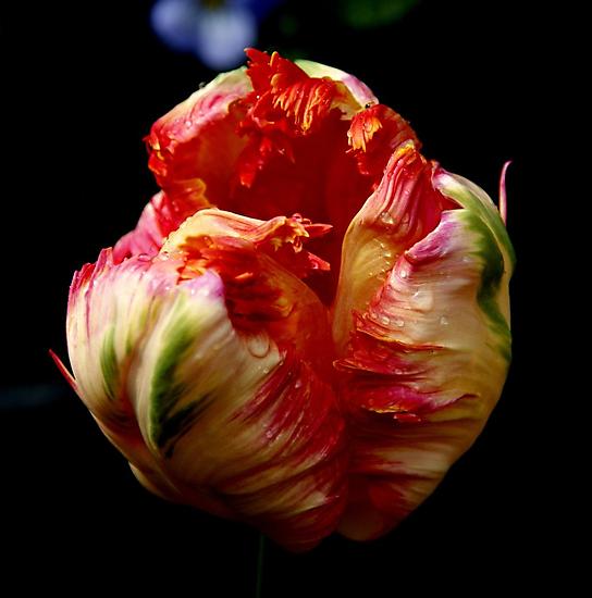 Tulip by hanslittel