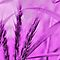 Lavender Macro - Lovely Lavender