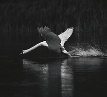 Swan by willgudgeon