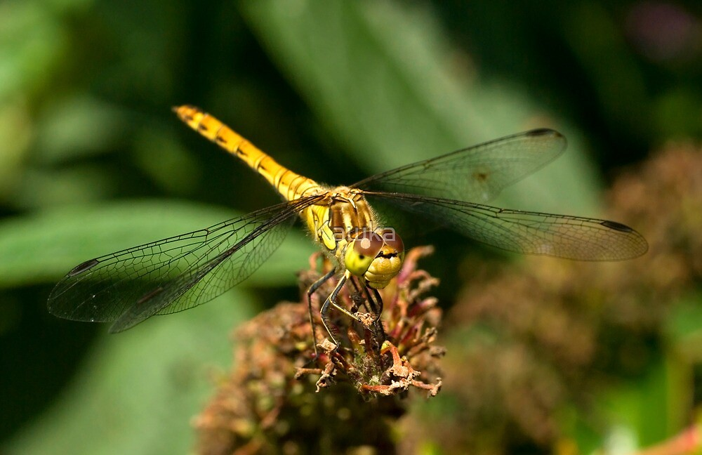 Female Common Darter Dragonfly by Kawka