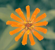 In my garden: an orange flower by Giuseppe Ridinò