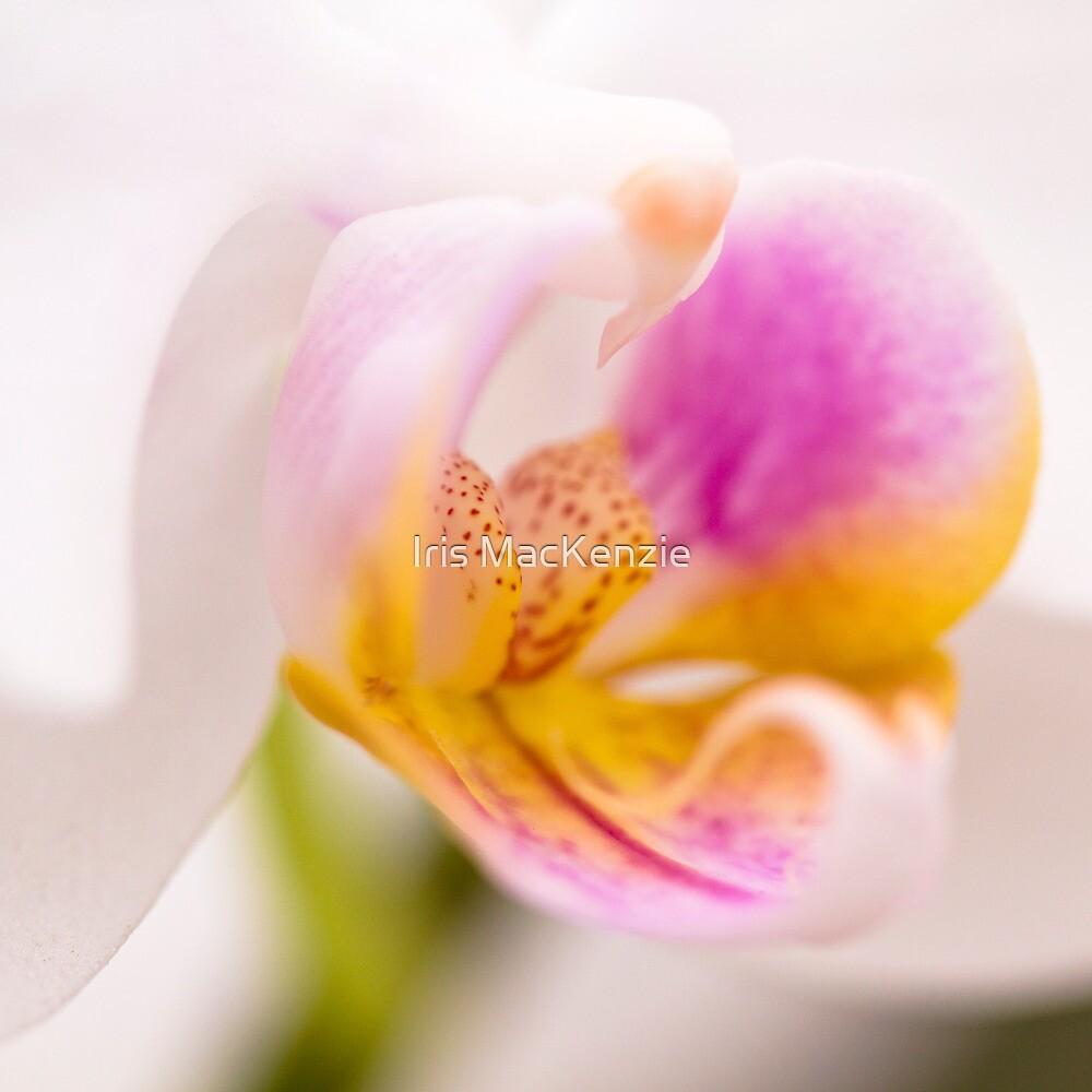 orchid impressions i by Iris MacKenzie