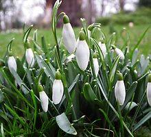 Galanthus Nivalis by mike  jordan.