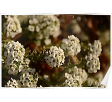 White Flowers Poster