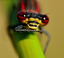 Large Red Damselfly's Face by George Crawford