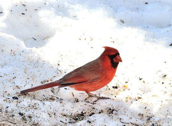 Male Cardinal standing on snow by crspix