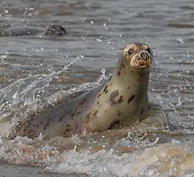 Atlantic Grey Seal by Patricia Jacobs CPAGB LRPS BPE4