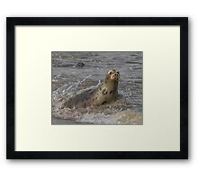 Atlantic Grey Seal Framed Print
