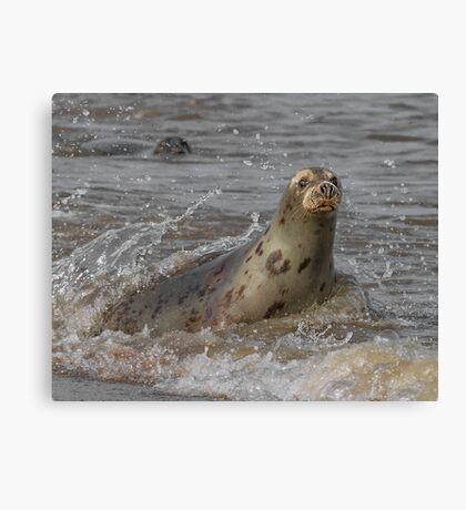 Atlantic Grey Seal Canvas Print