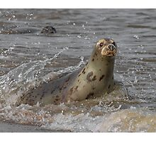 Atlantic Grey Seal Photographic Print
