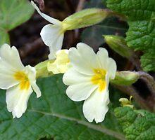 Primrose Or Primula -Lyme, Dorset UK by lynn carter