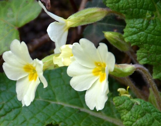 Primrose Or Primula -Lyme, Dorset UK by lynn carter