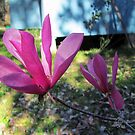 Asian Magnolias by Anne Guimond