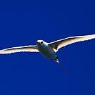 Red Tailed Tropic Bird  - Lord Howe by john  Lenagan