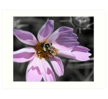 Bumble Bee On Cosmos Art Print