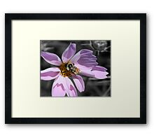 Bumble Bee On Cosmos Framed Print